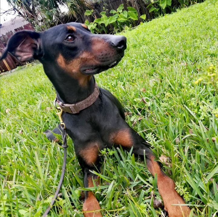 Dave, an adopted Doberman Pinscher in Harahan, LA