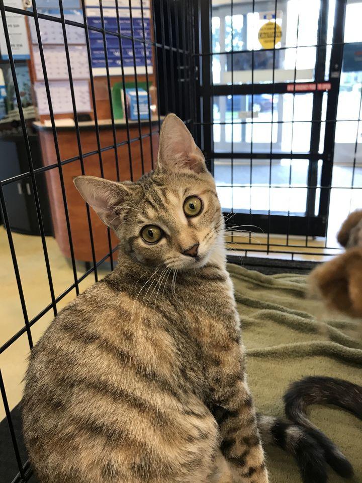 Rachel, an adoptable Domestic Short Hair in Fort Lauderdale, FL