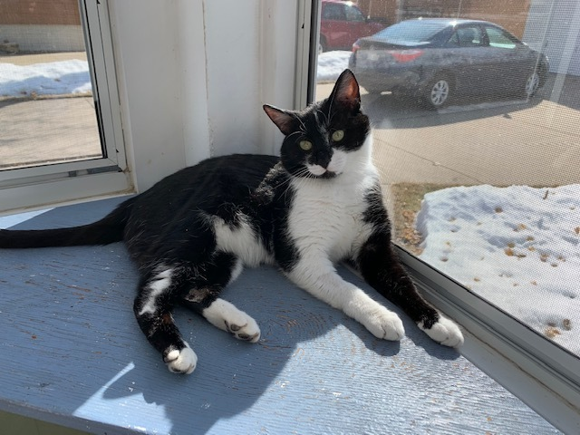 Romeo, an adoptable Domestic Short Hair Mix in Sparta, WI