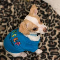 Lor, an adoptable Chihuahua Mix in Kennewick, WA