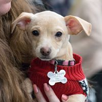 Thra, an adoptable Chihuahua Mix in Kennewick, WA