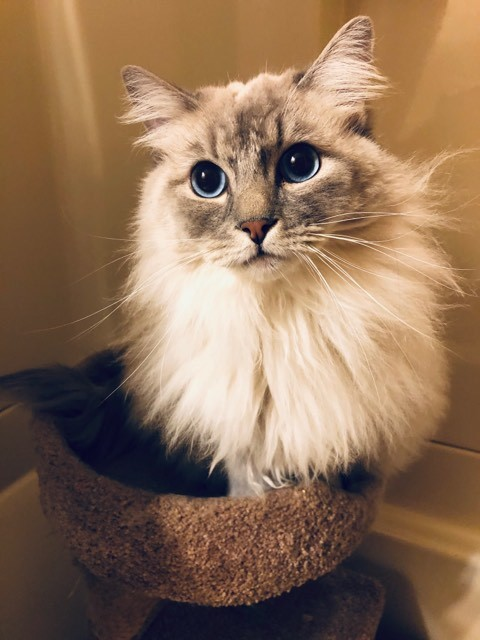 Mittens & Tuffy, an adopted Ragdoll in Middleton, WI