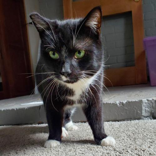 Sri, an adoptable Tuxedo & Domestic Short Hair Mix in Springfield, OR