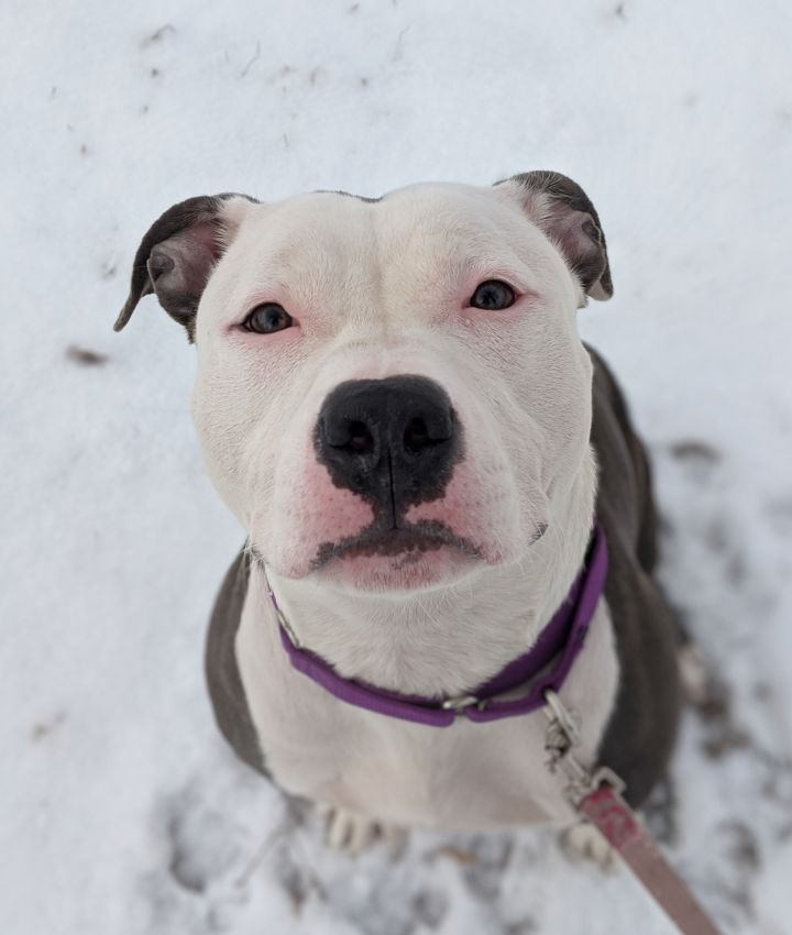 Charlize, an adopted Pit Bull Terrier in Onalaska, WI