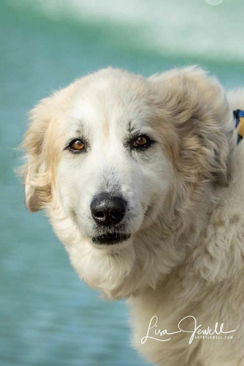 Buddy, an adoptable Great Pyrenees Mix in Winter Park, CO