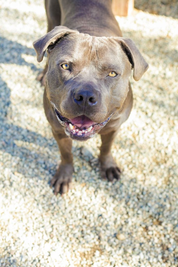 Smoke, an adoptable American Staffordshire Terrier & Pit Bull Terrier Mix in Pasadena, CA