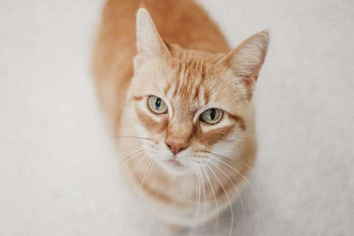 Betty, an adoptable Domestic Short Hair Mix in Longview, WA