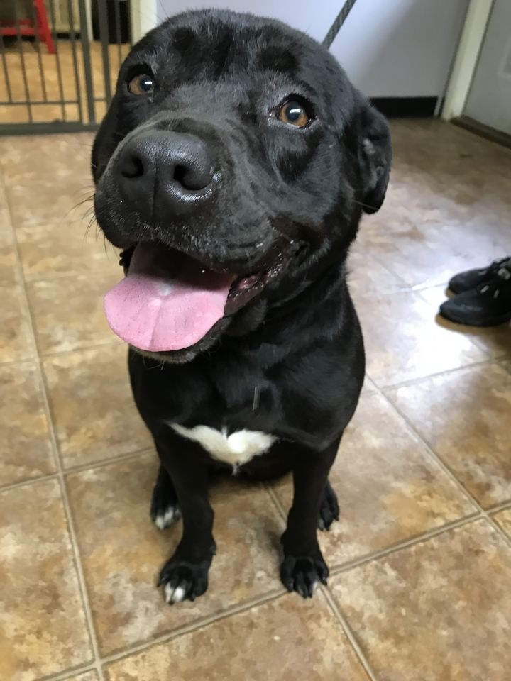 Ginny, an adoptable Labrador Retriever & Pit Bull Terrier Mix in Spencer, IN