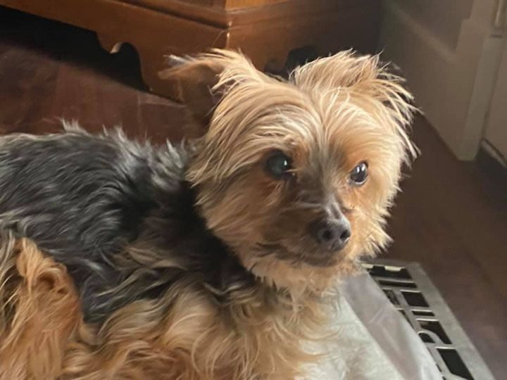 Mia, an adoptable Yorkshire Terrier in Manhattan, KS