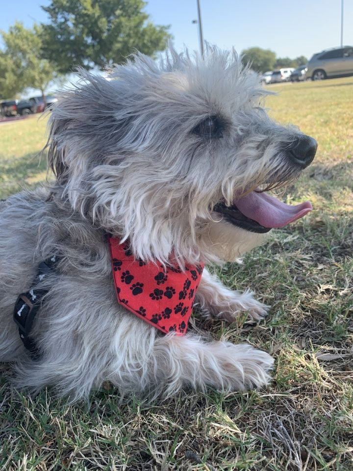 Bootsie, an adopted Schnoodle Mix in Dallas, TX