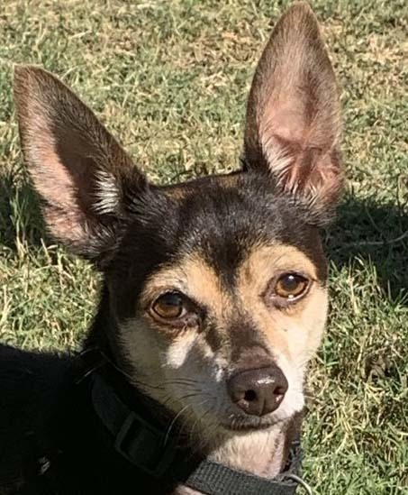 Ricardo, an adopted Chihuahua in Dallas, TX