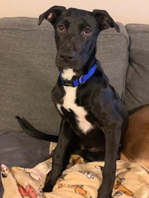 Nova (CP), an adopted Great Dane Mix in Dallas, TX