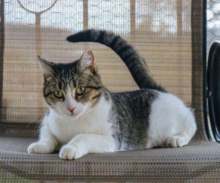 Diana, an adoptable Domestic Short Hair Mix in Marble Falls, TX