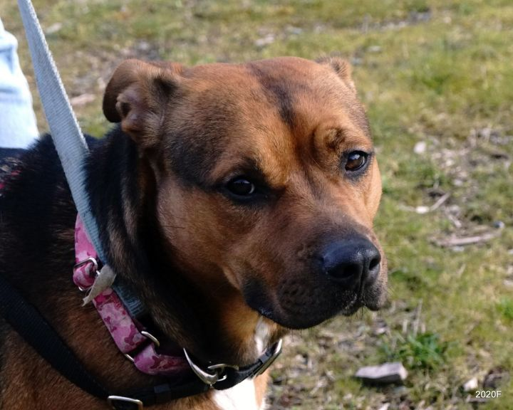 Bailey, an adoptable Pit Bull Terrier & Labrador Retriever Mix in Bellingham, WA