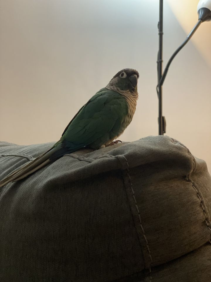 Blue, an adopted Conure in North Babylon, NY
