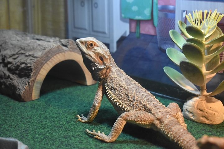 Mushu, an adoptable Bearded Dragon in Burlingham, NY