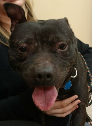 Hank is a three year-old Pit Bull mix He is very sweet despite his sad upbringing If interested in