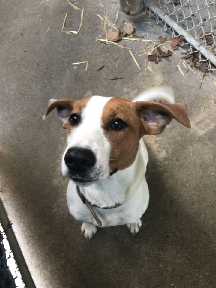 Remi, an adoptable American Foxhound Mix in Spencer, IN