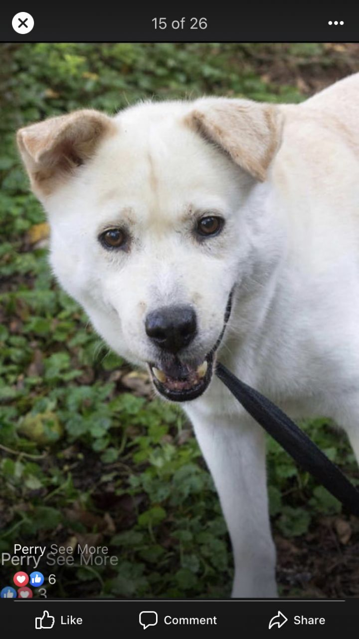 Perry, an adoptable Chow Chow Mix in Spencer, IN