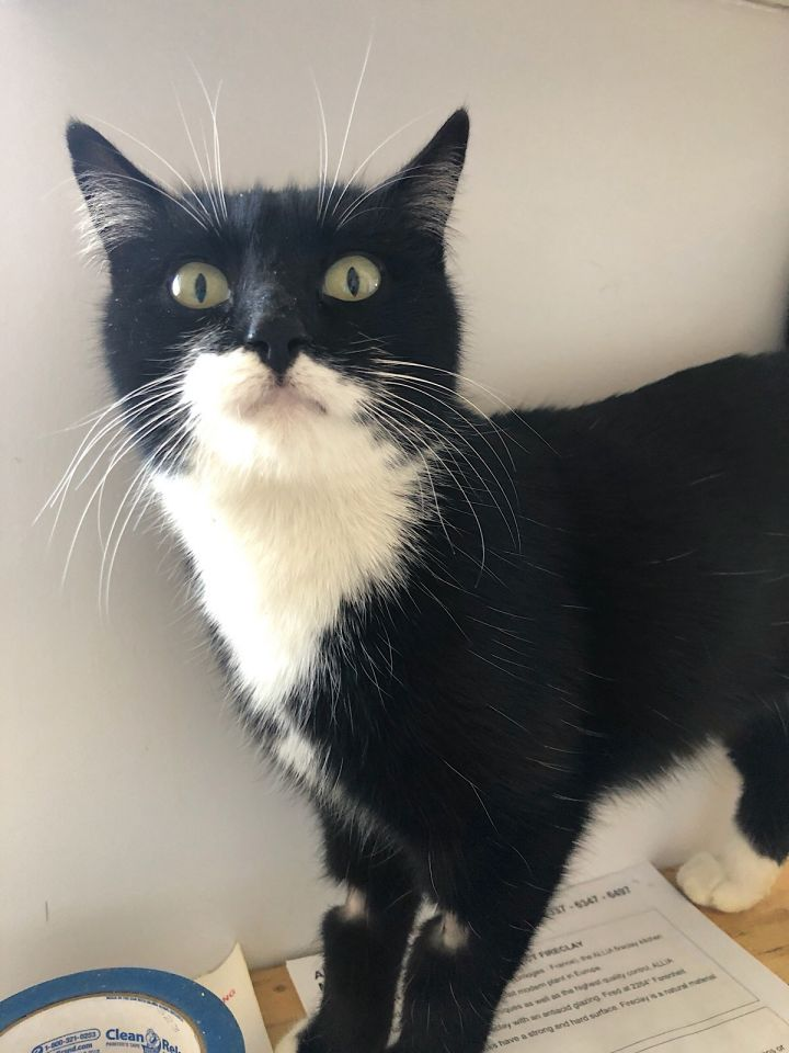Frieda, an adopted Domestic Short Hair & Tuxedo Mix in Mission Viejo, CA