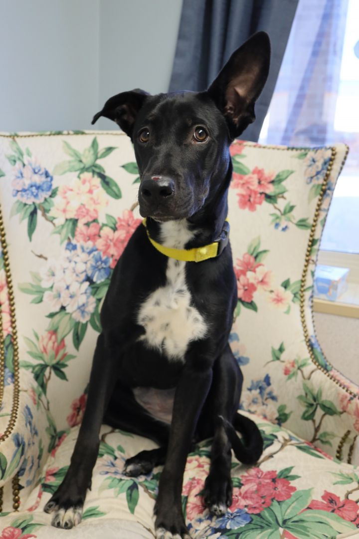 Lourdes, an adoptable Shepherd Mix in Naperville, IL