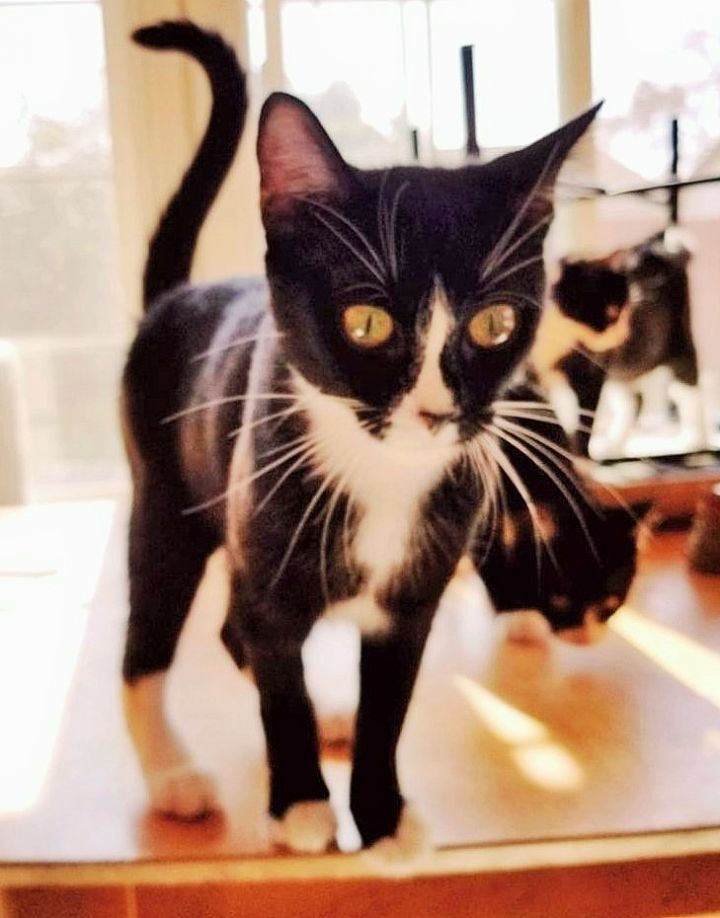 Luna, an adopted Domestic Short Hair in Mission Viejo, CA
