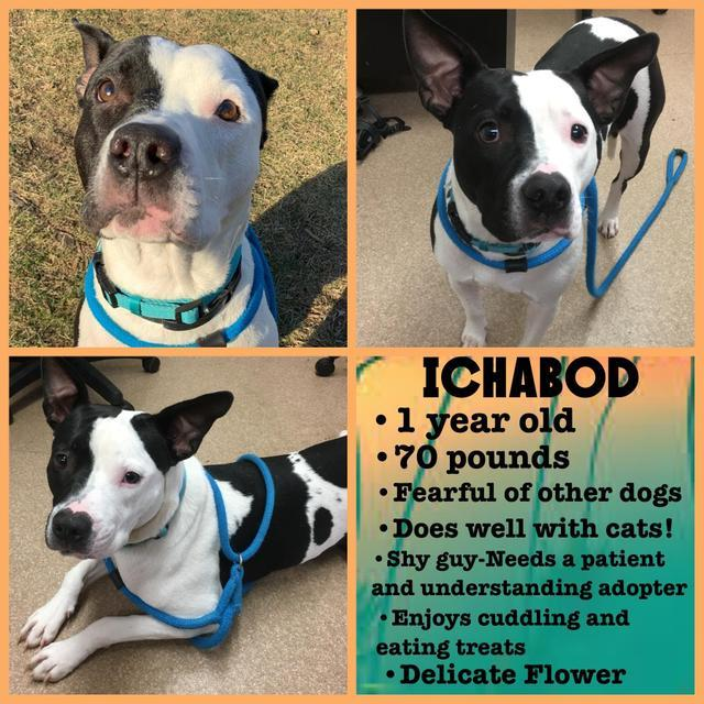 Ichabod, an adoptable American Staffordshire Terrier in Utica, MI
