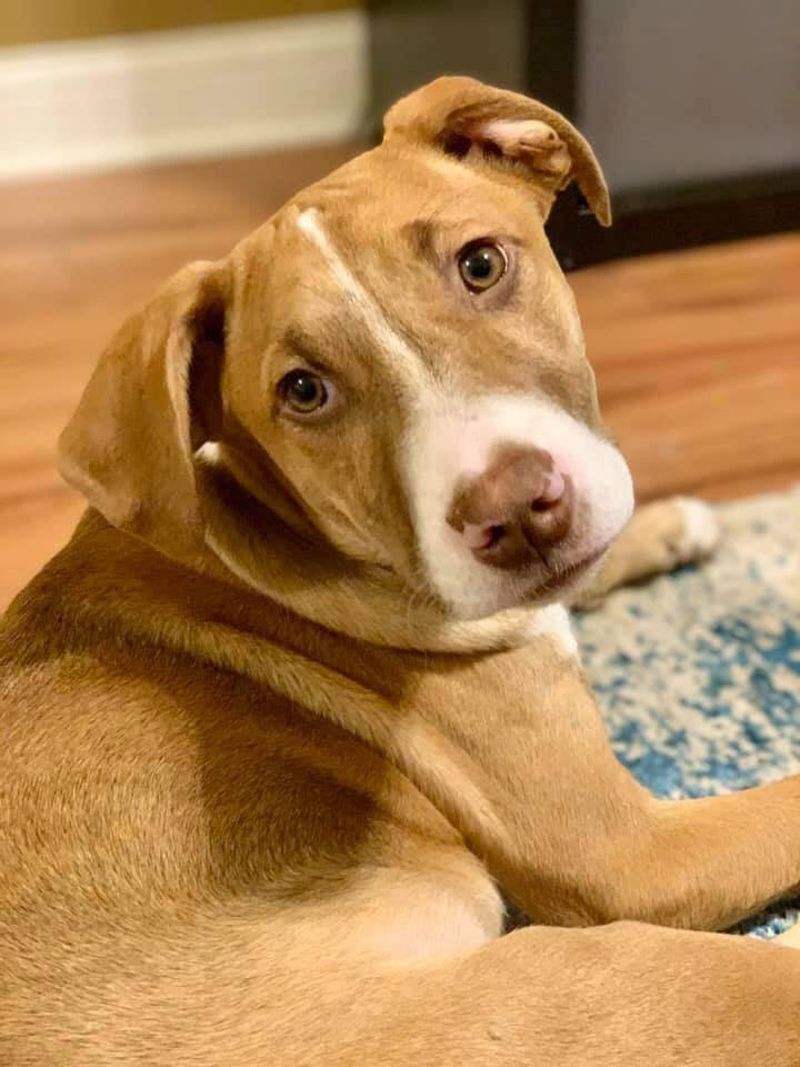 Elsa, an adoptable Pit Bull Terrier Mix in New Albany, OH