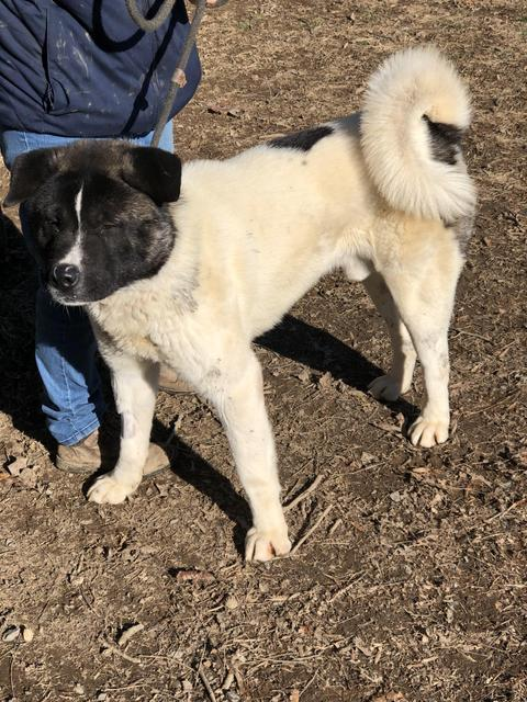 Oreo - now in Akita Rescue!, an adopted Akita in Myerstown, PA