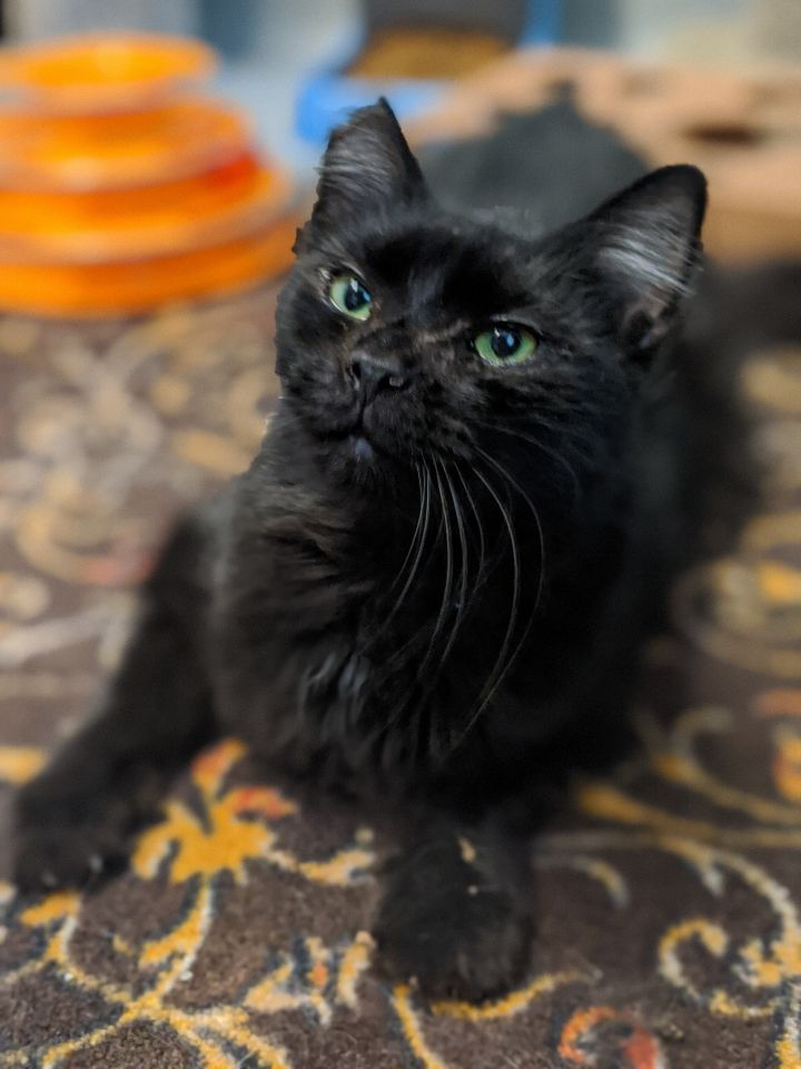 King, an adoptable Domestic Short Hair & Domestic Medium Hair Mix in Mendham, NJ