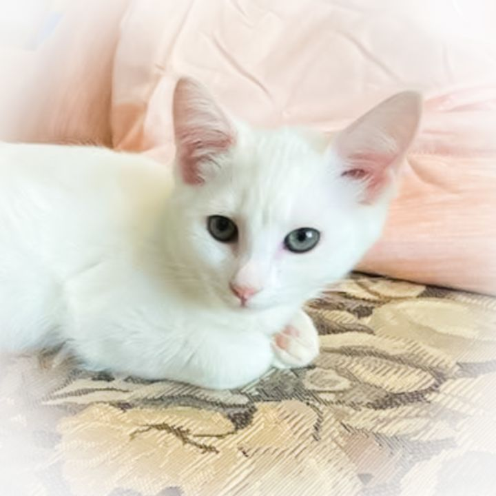 Ivory, an adopted Domestic Short Hair in Ponte Vedra, FL