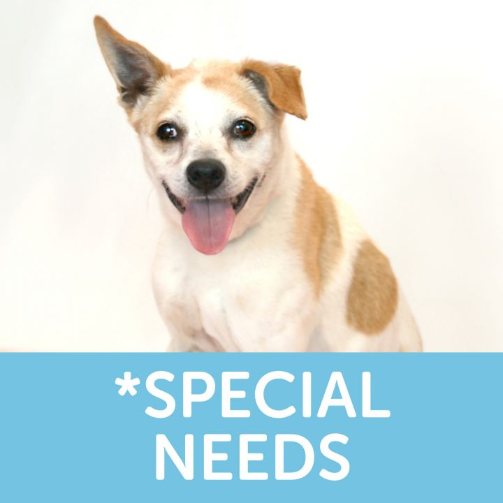 Eleanor, an adoptable Terrier & Jack Russell Terrier Mix in Clovis, CA