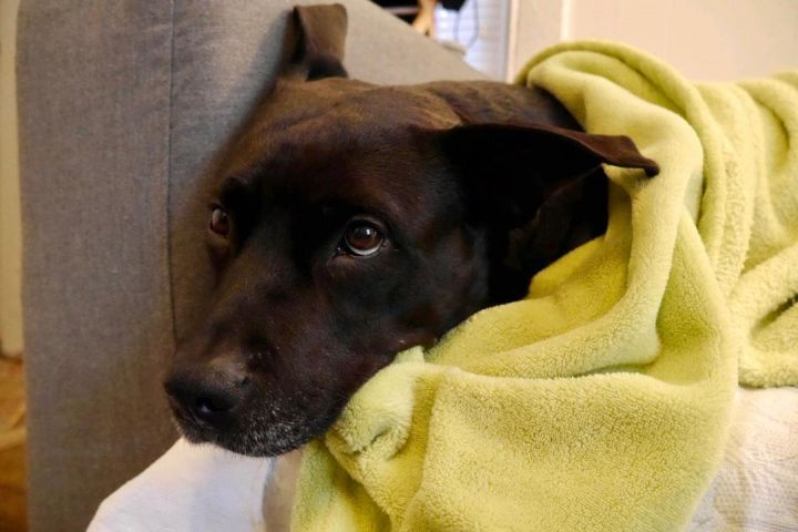 CHEESE- URGENT!, an adoptable Rottweiler & Pit Bull Terrier Mix in Hamilton, NJ