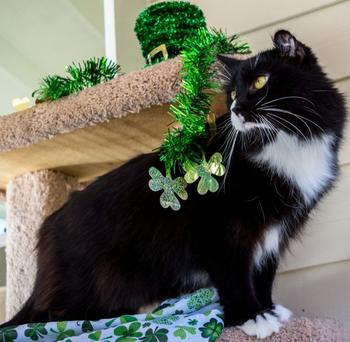 Ralph, an adopted Domestic Medium Hair in Jacksonville, OR