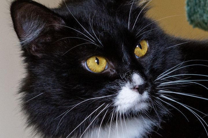 Ralph, an adoptable Domestic Medium Hair in Jacksonville, OR