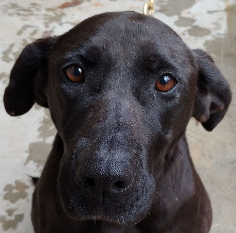 Maxine, an adoptable Labrador Retriever Mix in Lenoir, NC