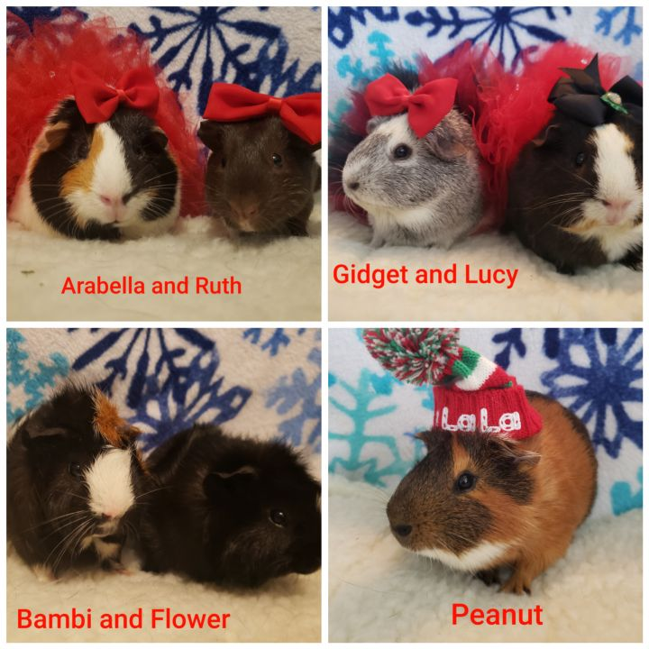 Guinea Pigs, an adoptable Guinea Pig in Cantonment, FL_image-1