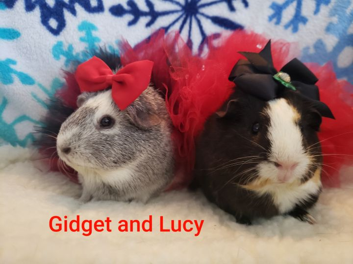 Guinea Pigs, an adoptable Guinea Pig in Cantonment, FL_image-3