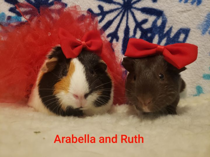 Guinea Pigs, an adoptable Guinea Pig in Cantonment, FL_image-4