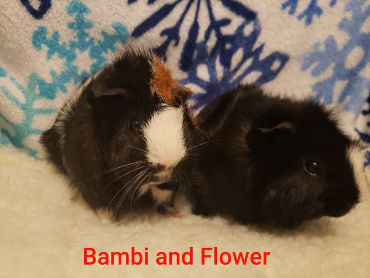 Guinea Pigs, an adoptable Guinea Pig in Cantonment, FL_image-5