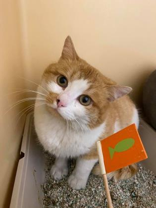sherlock, an adoptable American Shorthair & Domestic Short Hair Mix in Clarks Summit, PA