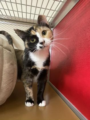 sweet tea, an adoptable Domestic Medium Hair & Domestic Short Hair Mix in Clarks Summit, PA
