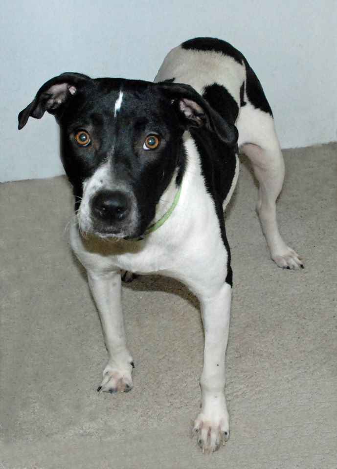 Minnie, an adoptable Labrador Retriever & Pointer Mix in Manhattan, KS