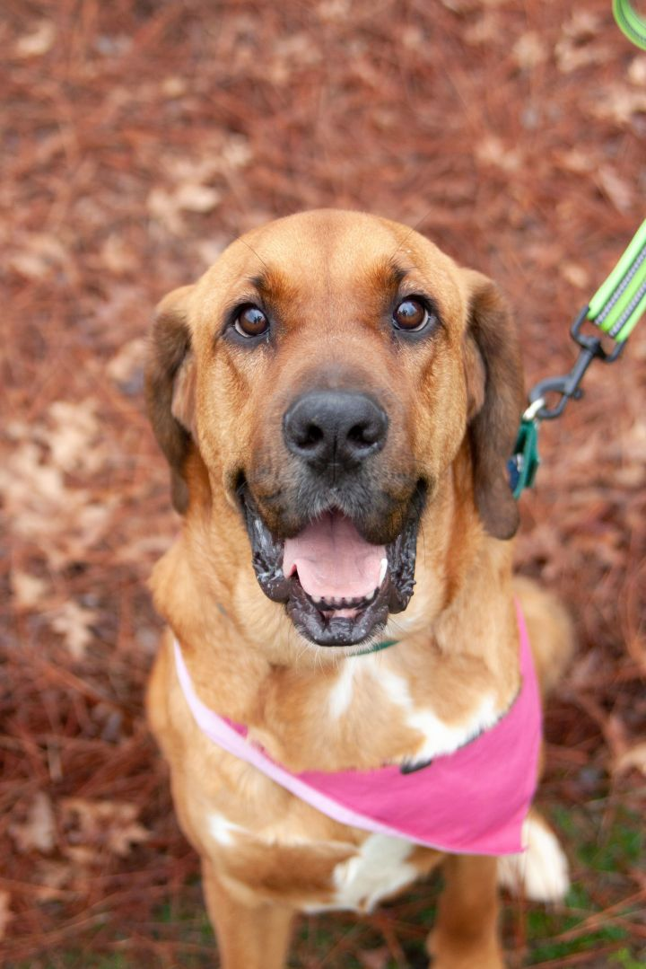 Duchess, an adopted Hound Mix in Waxhaw, NC