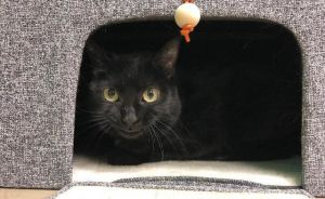 Raisin, adoptable Cat, Young Female Domestic Short Hair
