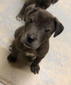 Anthony, adoptable Dog, Puppy Male Catahoula Leopard Dog Mix