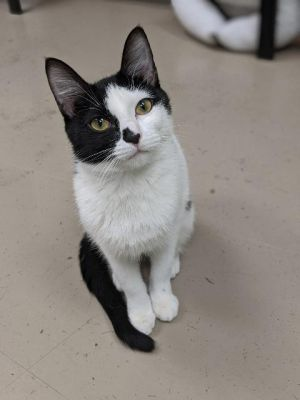 Dutchess of Whiskerton, adoptable Cat, Young Female Domestic Short Hair