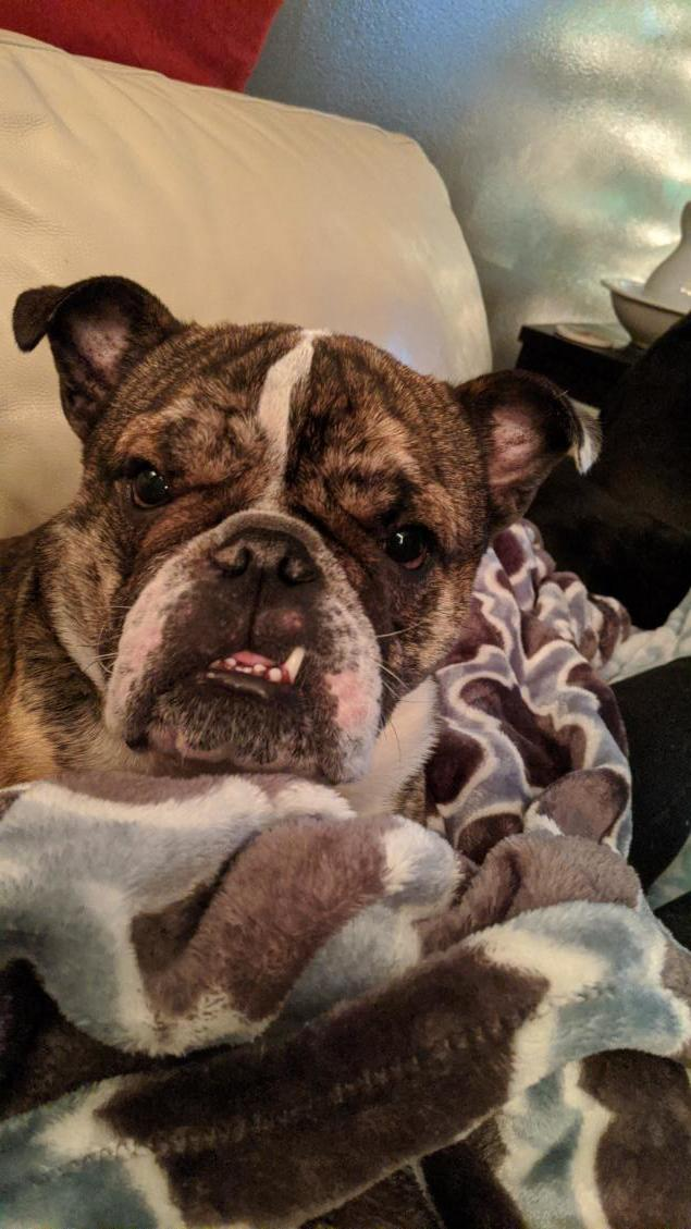 Tiny Tim, an adopted English Bulldog in Decatur, IL