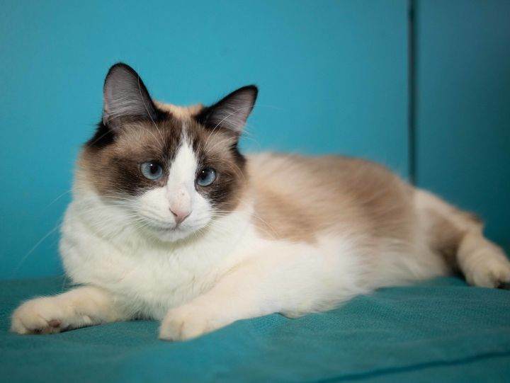 Yoshimi, an adoptable Siamese in Los Angeles, CA