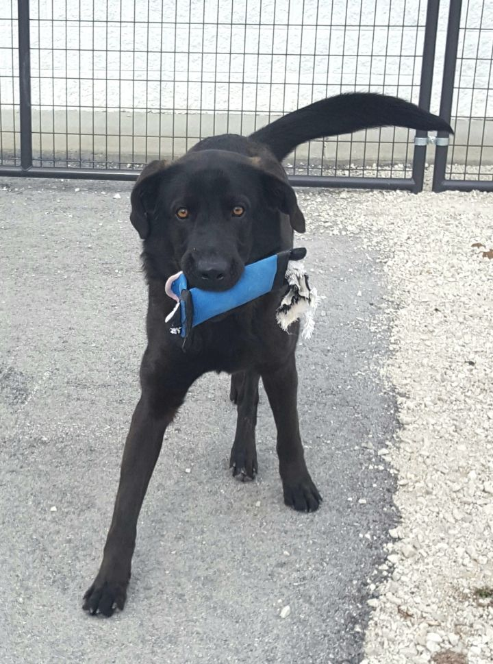 Kona, an adopted Black Labrador Retriever & German Shepherd Dog Mix in Stanton, KY